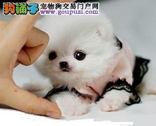 三亚最大犬舍出售多种颜色茶杯犬加微信送用品