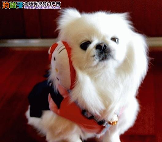 热销京巴幼犬,保证血统纯度,全国送货上门