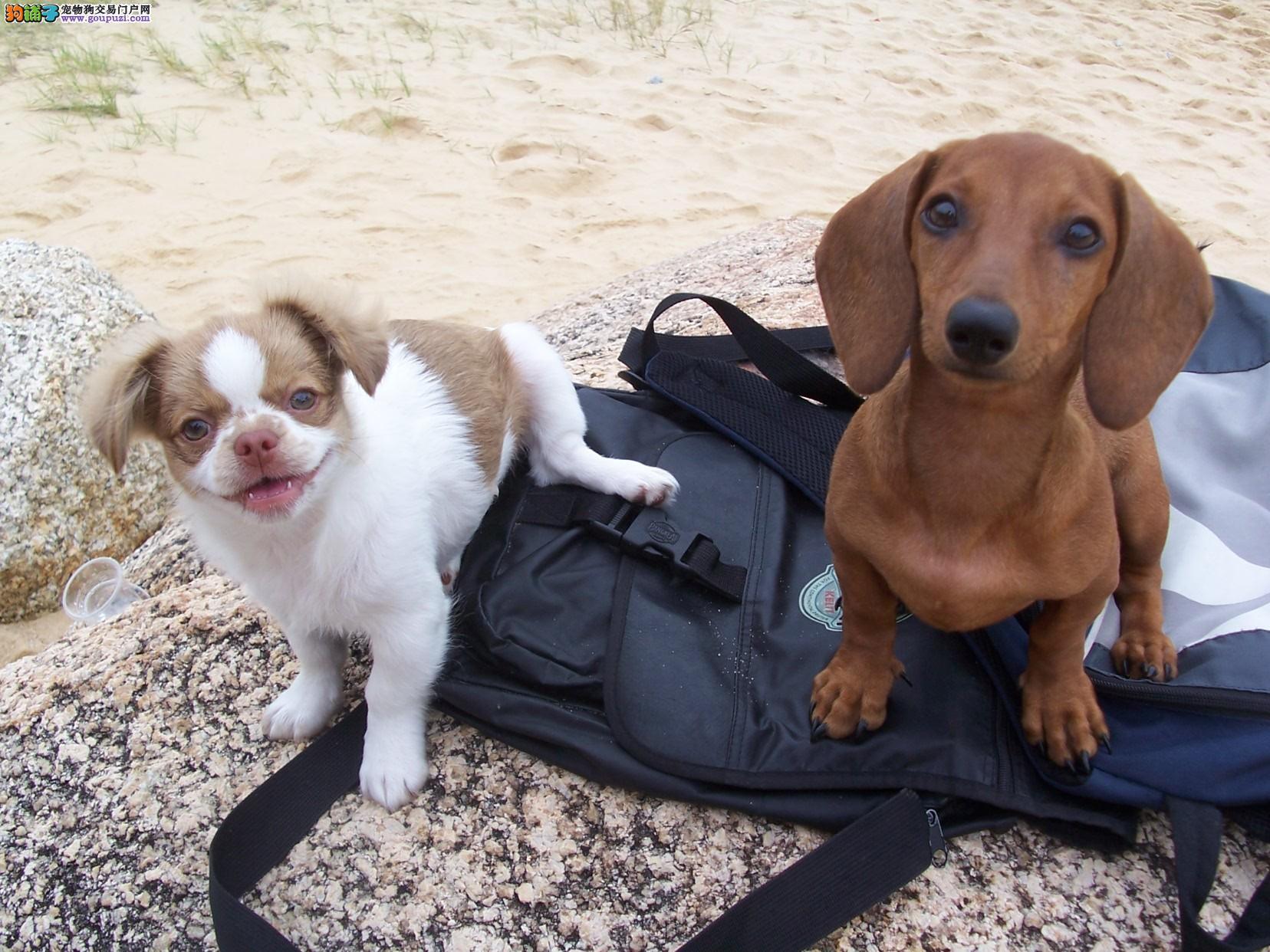 火爆出售血统纯正的苏州腊肠犬终身质保终身护养指导