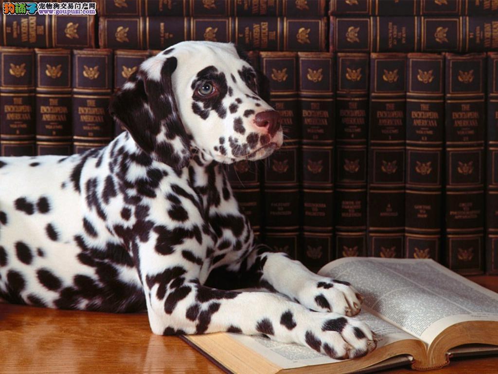 纯种斑点狗幼犬、疫苗驱虫已做、喜欢加微信