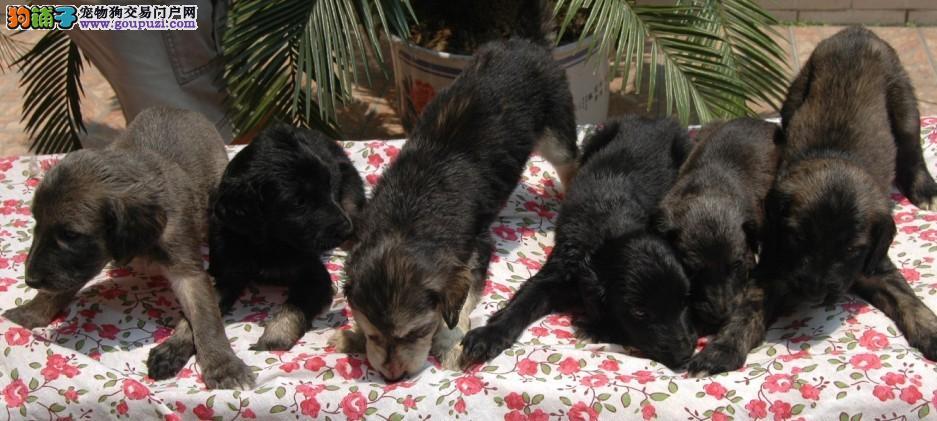 高品质阿富汗猎犬宝宝,国际血统品质保障,绝对信誉保证