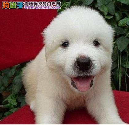 出售纯正健康的憨厚忠诚大白熊犬原生态顶级欢迎挑选