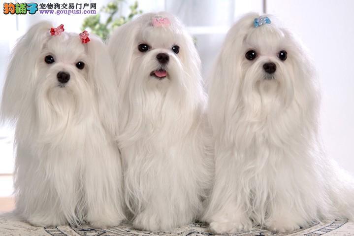 优雅多姿,惹人喜爱的狗狗 马尔济斯犬