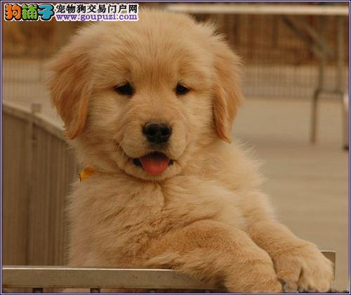 家养极品金毛犬转让太原周边地区购买送用品