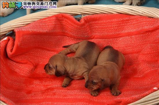 出售腊肠幼犬血统纯种保证健康支持全国拖运