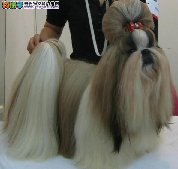 冠军后代最萌最爱西施犬 贵族宠物