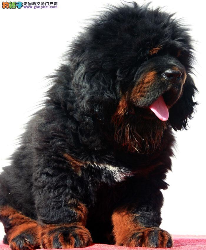 极品、牛蹄子藏獒在这里、纯种和健康、CKU认证犬业