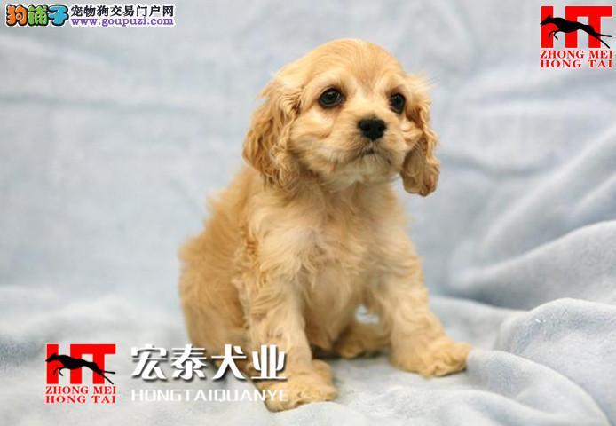 精品可卡幼犬保品质/健康/血统/可协议。
