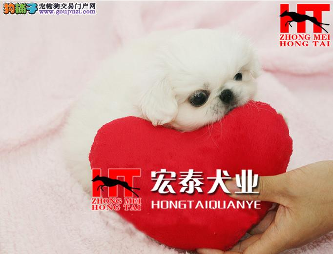 纯种京巴犬幼犬出售 FCI血统认证 品质有保证