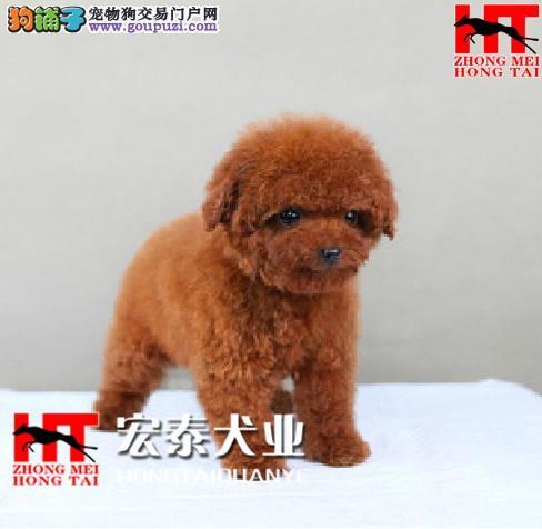 犬舍直销迷你/玩具/茶杯小泰迪宝宝 FCI认证犬业。