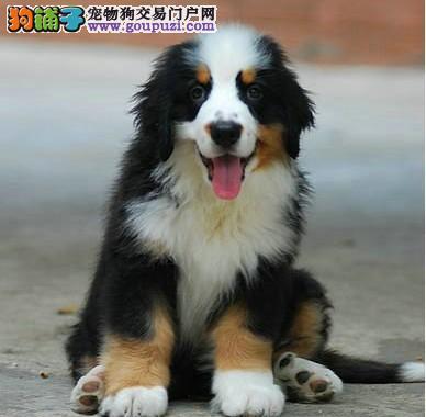 广州伯恩山大型犬伯恩山犬价格 伯恩山犬图片