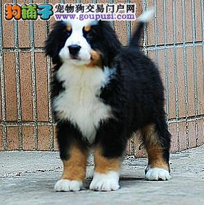 CKU认证犬舍 专业出售极品 伯恩山幼犬终身售后协议