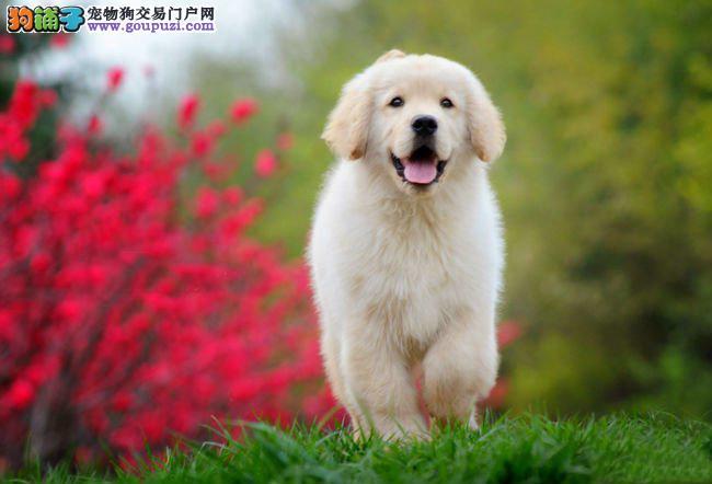 河北出售金毛幼犬天真活泼 性格好 随时可以看狗狗