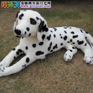 买卖斑点犬在什么地方 纯种斑点哪里有出售的