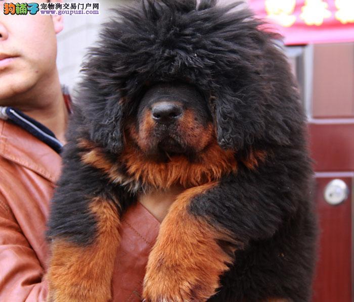 CKU认证犬业专业繁殖藏獒宝宝—绝对信誉