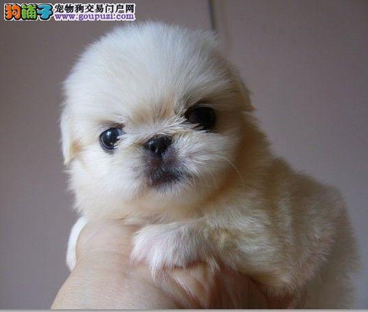 CKU认证犬业专业繁殖京巴宝宝—绝对信誉