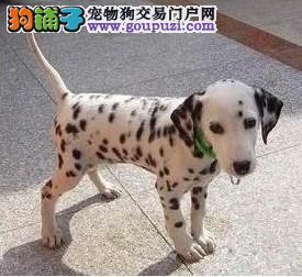 极品斑点狗出售 血统纯正包品质 绝对信誉保证