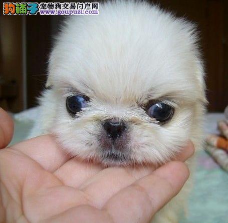 哪里有卖京巴犬 出售北京狗 京巴幼犬价格