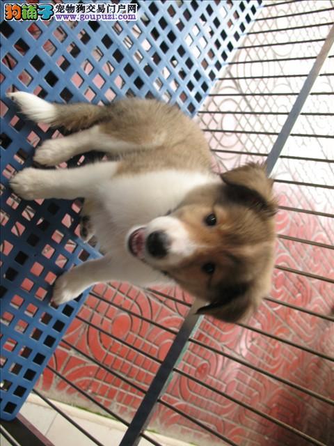 CKU认证犬业专业繁殖苏牧宝宝—绝对信誉