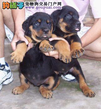 广州纯种防暴犬罗威纳的价格 赛级罗威纳的图片