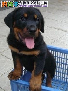 现有罗威纳幼犬品相好 大骨架喜欢的朋友可上门挑选