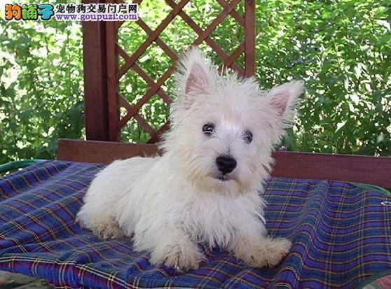 家养绝对可爱的西高地小狗