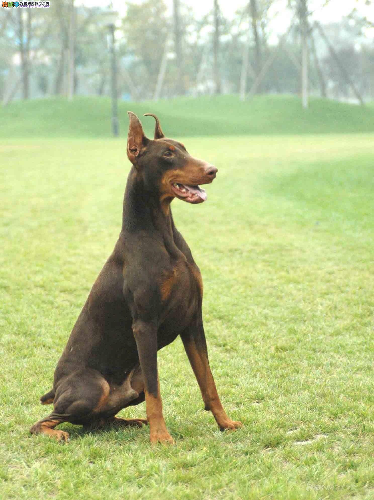 杜宾犬找新家、CKU品质绝对保证、签订活体协议