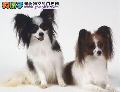 呼和浩特什么地方能买到家养宠物狗 健康的蝴蝶犬
