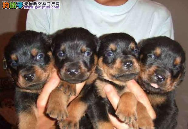 成都出售罗威纳幼犬2 4个月多只可以选择