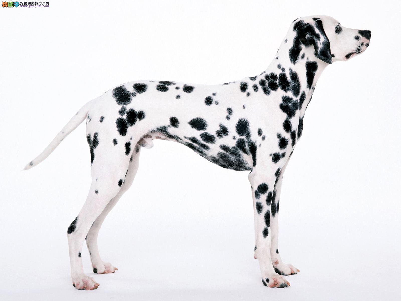 专业繁殖纯种天津斑点狗疫苗齐全签订终身协议