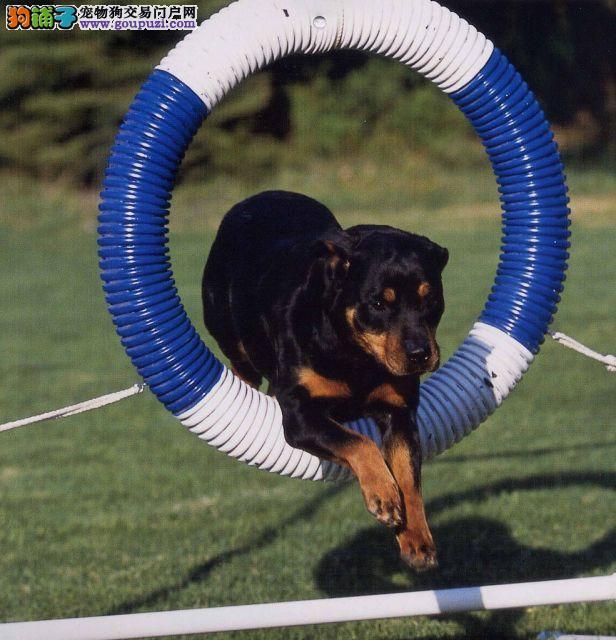 上海纯种罗威纳犬三年联保可送上门签协议看狗父母