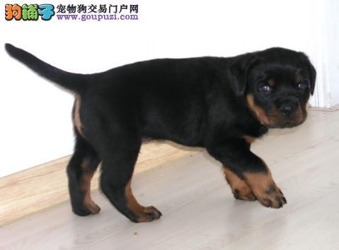 买纯种德系罗威纳防暴犬、大头粗腿忠诚强悍幼仔出售