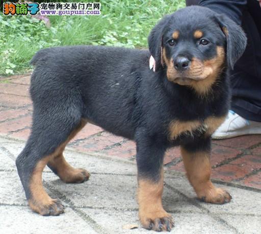 成都实体店低价促销赛级罗威纳幼犬终身售后保障
