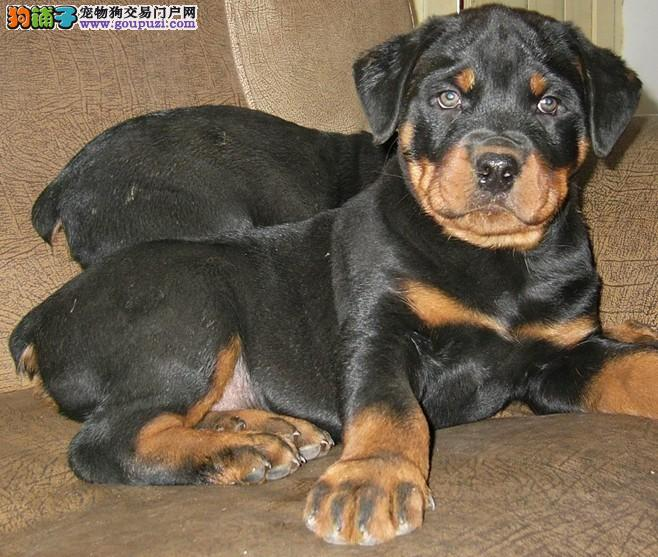 赛级罗威纳幼犬保证健康CKU认证