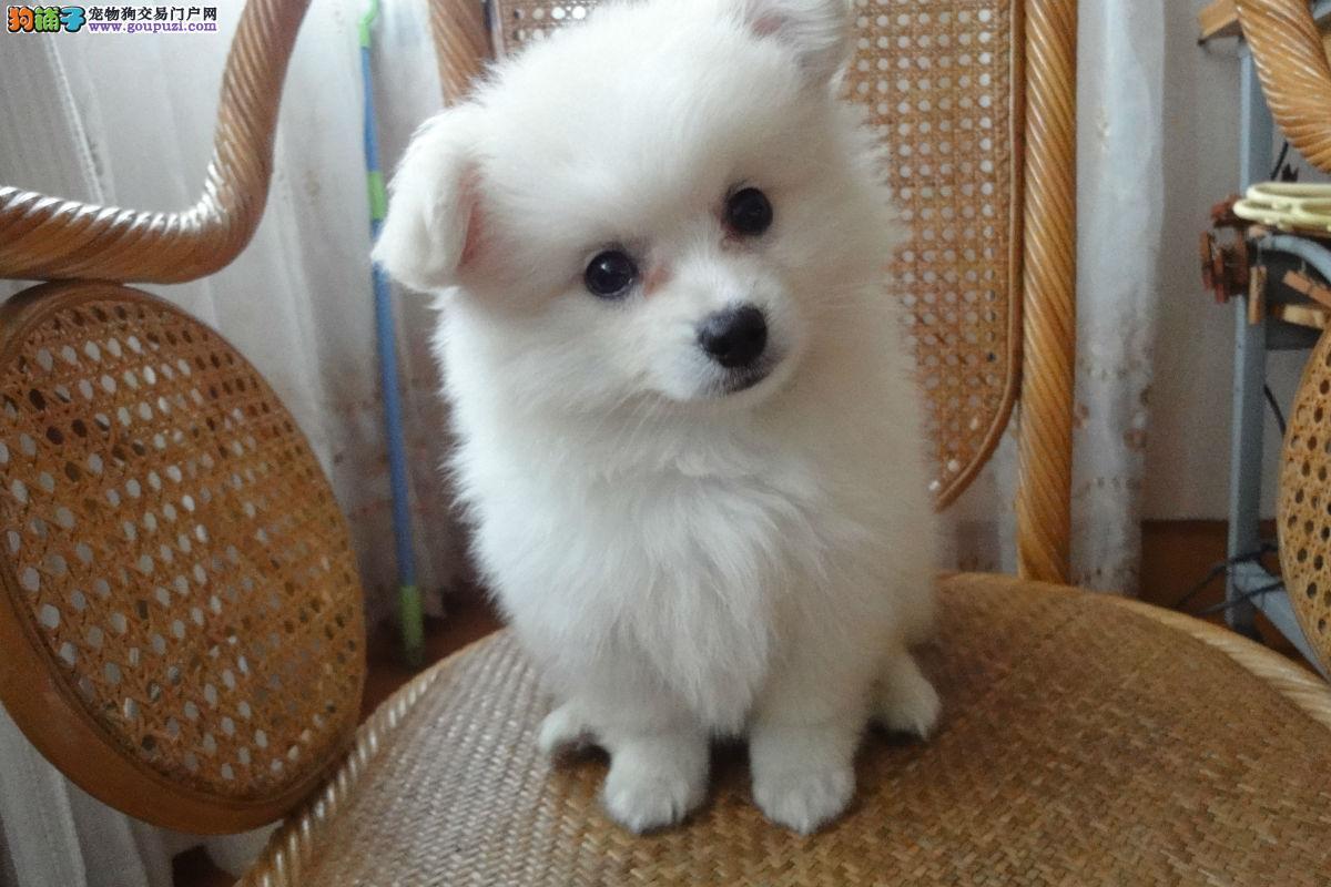 日本尖嘴银狐幼犬,极品纯种,品相好。