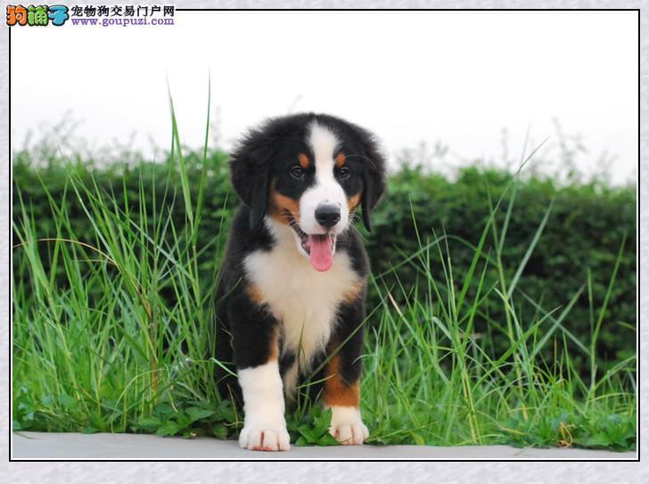 纯血统伯恩山幼犬、纯正血统完善服务、三年质保协议