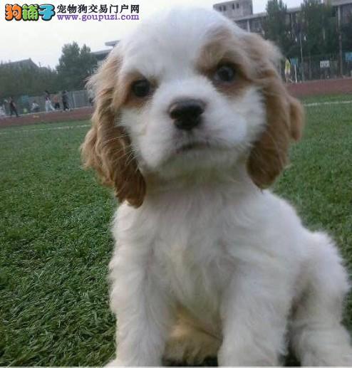 成都出售可卡幼犬品质好有保障三针疫苗齐全