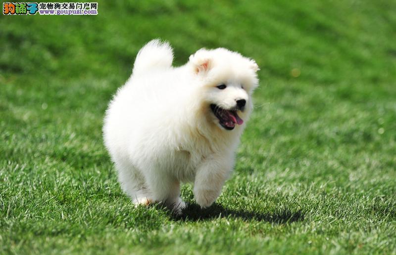 出售萨摩耶幼犬 出售犬只均有资格办理cku血统证书