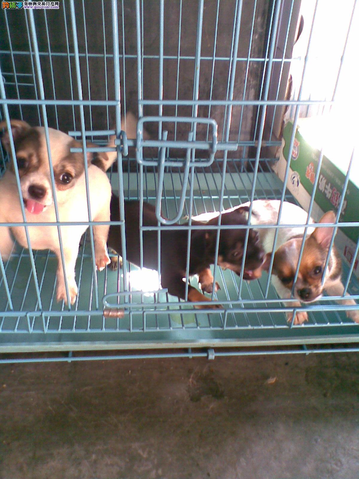 上海哪里的狗狗好 速来我家狗场吧 吉娃娃直销