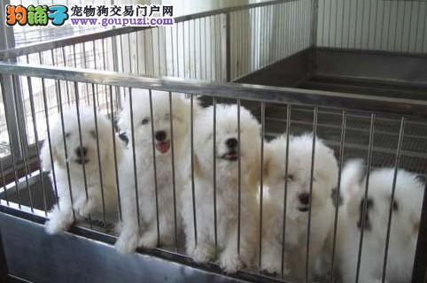 可爱的比熊 我家上海松江狗场直销 品质健康有保障