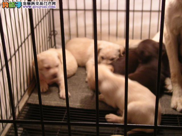 狗场直销高品质的拉布拉多犬 品质健康有保障