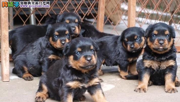狗场专业繁殖培育高品质罗威纳犬 品质健康有保障