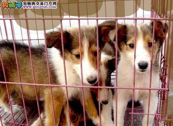 大众犬业直销高品质苏格兰牧羊犬 狗场专业繁殖培育
