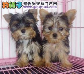 可爱的约克夏 上海松江狗场直销 品质健康有保障