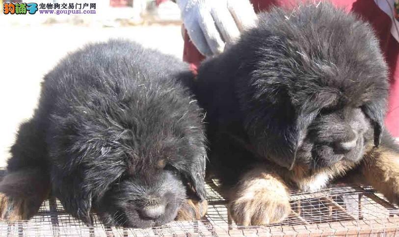 狗场直销凶猛的藏獒犬 健康有保障