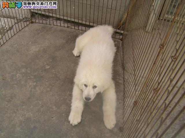 狗场繁殖培育 直销大白熊犬驱虫 疫苗已按时做好