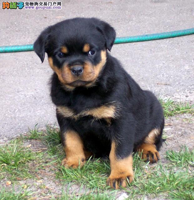 最具勇气和力量的精品犬种罗威纳