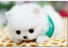 精品杯犬泰迪幼犬出售,正规繁殖,健康保障,本地送货
