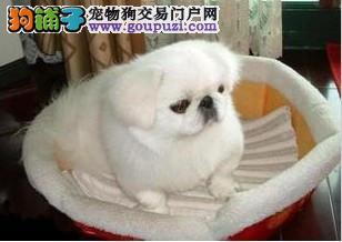 出售老字号上海名犬