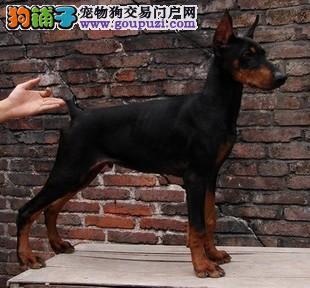 犬舍直销品种纯正健康郑州杜宾犬签署质保合同